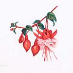 Mathilde Duffy's drawing of a fuschsia