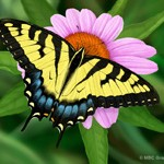 Painting of a Tiger Swallowtail by Erica Beade
