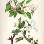 Painting of Appleblossoms by Tricia Cassady