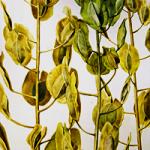 Watercolor of Seedpods by Dick Rauh