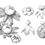 ink drawing of earthstar fungi by insil choi