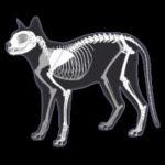 illustration of feline skeleton by wendy chadbourne