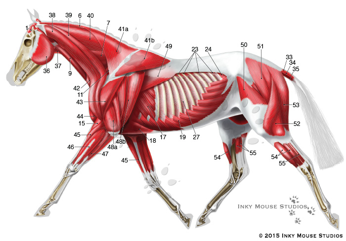 Equine Lateral Superficial Musculature Anatomy