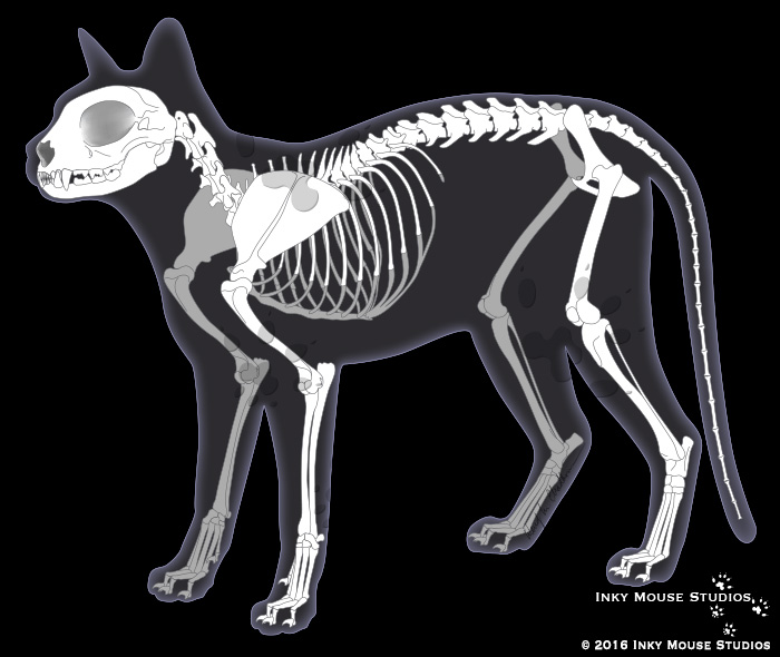 Feline Skeletal System Illustration