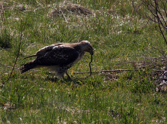 Redtailed Hawk hunting a snake photo by Wendy Chadbourne