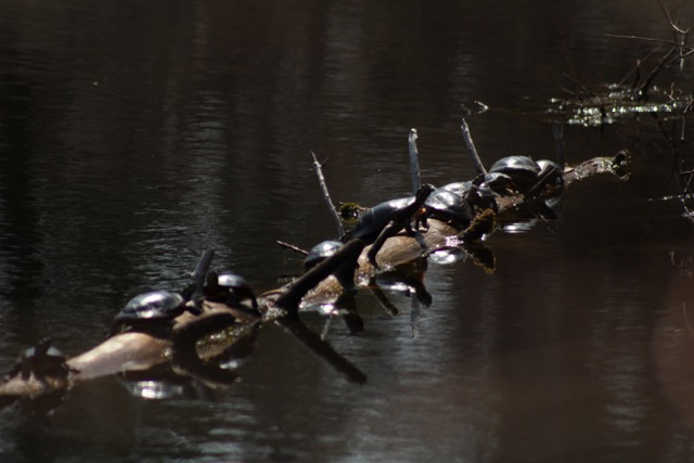 Photo of sunbathing turtles by Wendy Chadbourne