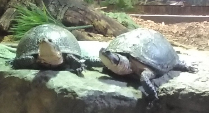 Ecotarium Blandings Turtle Exhibit