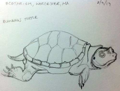 Ecotarium Blandings Turtle Sketch by Wendy Chadbourne