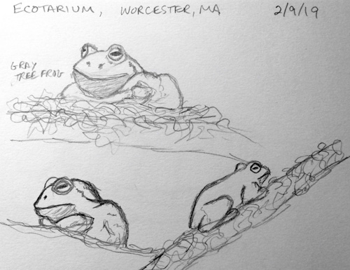 Ecotarium Gray Tree Frog Sketch by Wendy Chadbourne