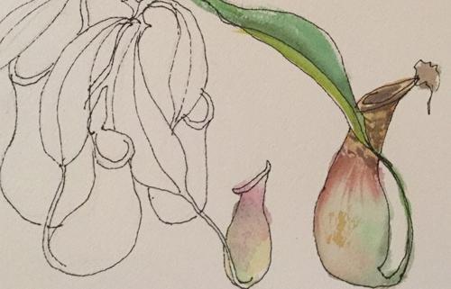 Ecotarium Pitcher Plant Sketch by Nancy Minniegerode