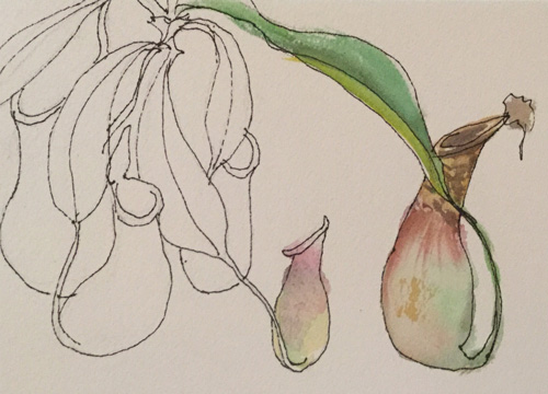 Ecotarium Pitcher Plant Sketch by Nancy Minniegerode