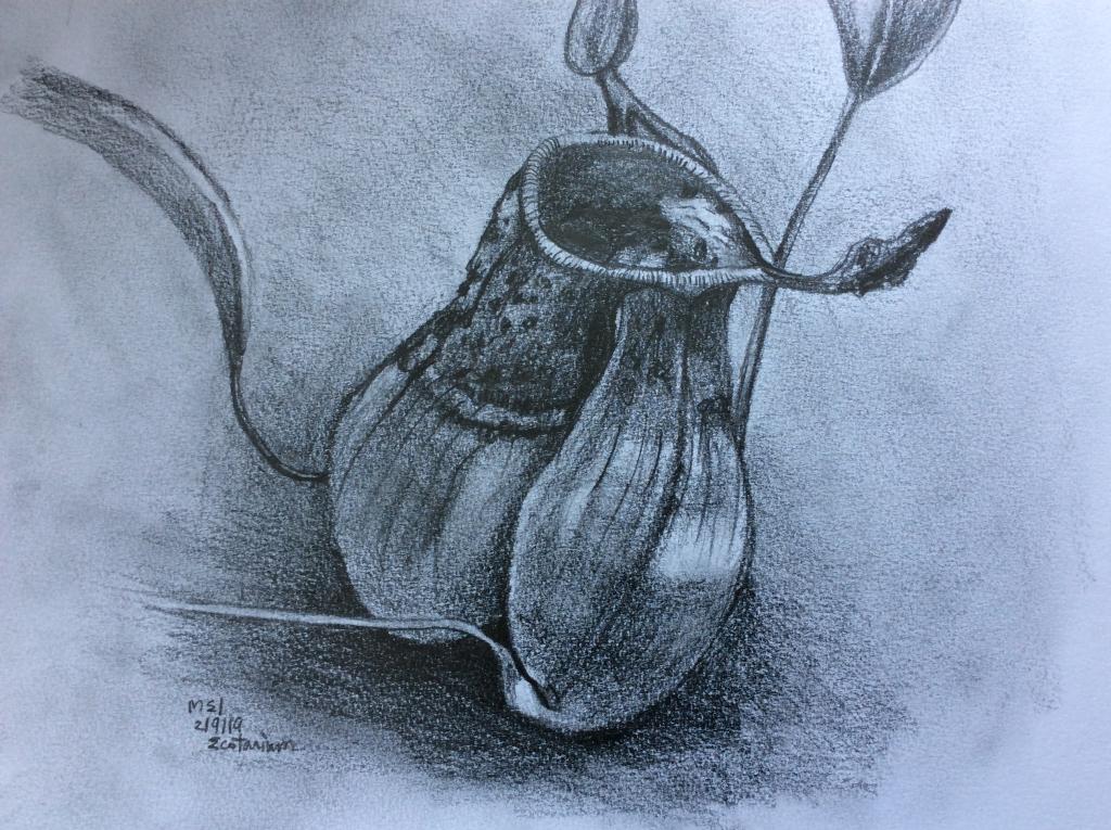 Pitcher Plant Sketch Sau-Mei Leung