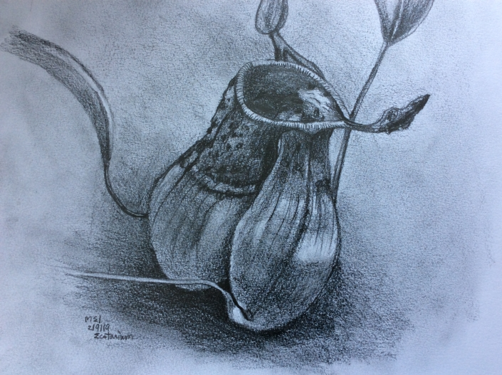 Pitcher Plant Sketch Sau-Mei Leung