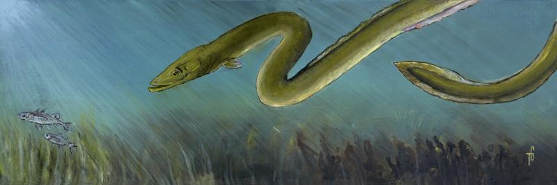 American Eel in an Estuary