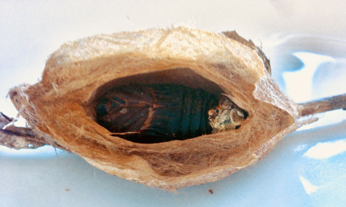 Photo of cecropia pupa in cocoon