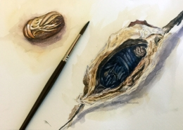 Watercolor study of cecropia moth pupa by Nancy Minnigerode
