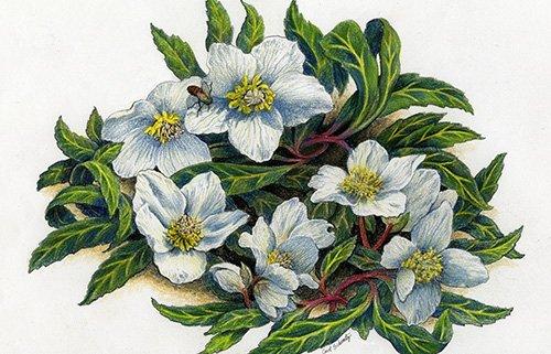 Winter Blooming Hellibore in colored pencil by Carol Schwartz