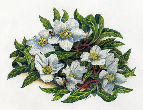 Winter Blooming Hellibore in colored pencil by Carol Schwartz