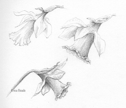 Daffodils sketch for Botanical Sunday by Erica Beade