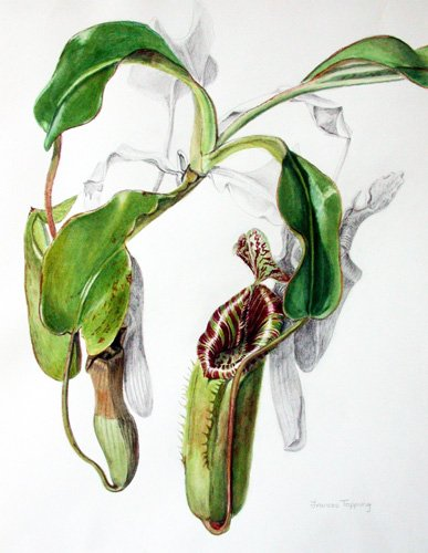Nepenthes veitchii x lowii
