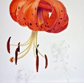 Lilium superbum Turk's cap lily
