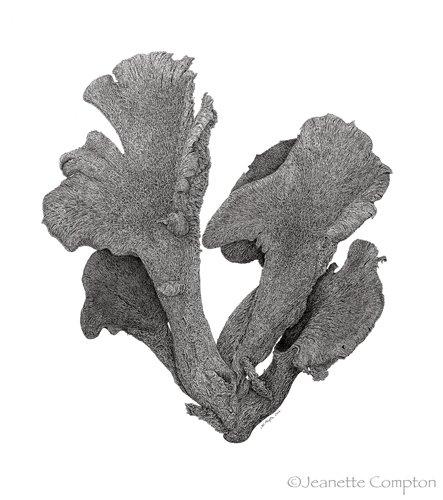Whitneyville Fungus