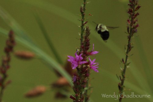 Bumble Bee Chasing at Rough Meadows