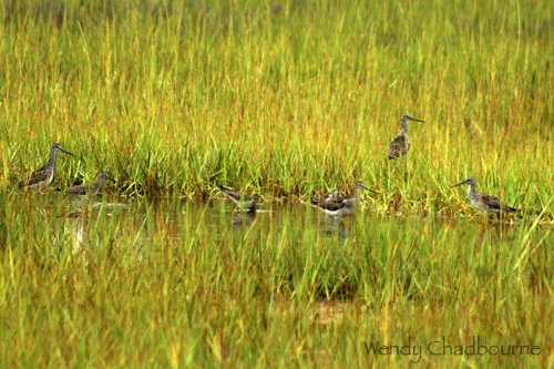 Greater Yellowlegs out in the Rough Meadows Marsh