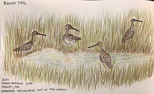 Greater Yellowlegs Hiding in Marsh at Rough Meadows